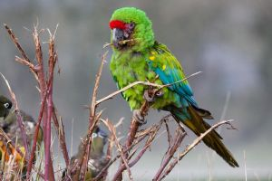 3364 - Military macaw by Jay-Co