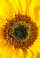 Sunflower_III by royho