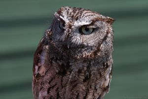 What Now?? Western Screech Owl by runique