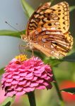 Great Spangled Fritillary 04 by Thy-Darkest-Hour