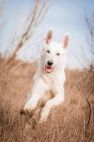 White Wolf Encounter by BlackPepperPhotos