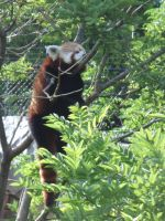 Red Panda - Napping by JennHolton