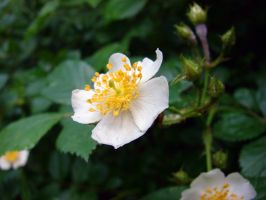 Multiflora Rose by Fugu-5