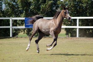 GE Arab rosegrey canter all legs off ground by Chunga-Stock