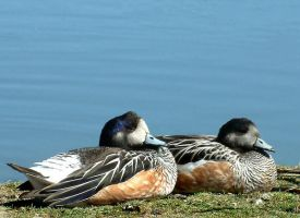 Chiloe Wigeon by April-Snowflake