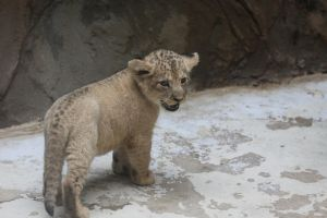 Lion cub by Tigerlover4