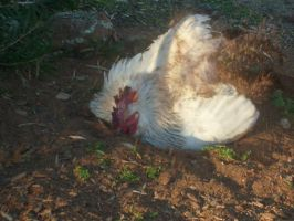 Rooster Having A Dirt Bath by jess13795