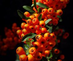 Orange Berries by Sed-rah-Stock