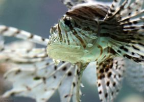 LionFish by NHuval-stock