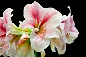 From Flower show -1-Amaryllis by my-cousine-vinny