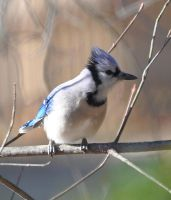 Young Bluejay by Tailgun2009
