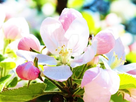 Apple Blossom by Lawliet22