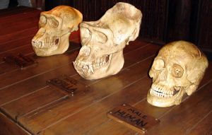 Skulls3 Human and Gorillas by WDWParksGal-Stock
