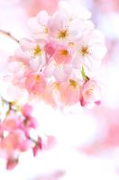 Cherry Blossom Bouquet by simzcom
