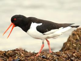 Haematopus ostralegus III by nordfold