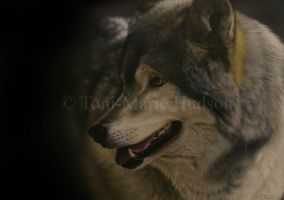 'Moving on' - wolf portrait by Canis-Lupess