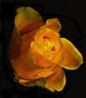 yelow rose by Platonov