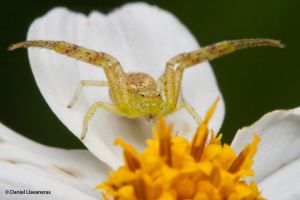 Crab spider II by dllavaneras