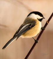 Chickadee - Out on a Limb by JestePhotography