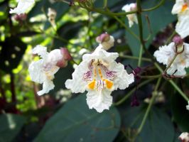 Catalpa Blooms by jadekin