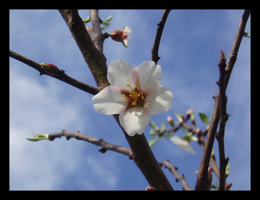 MM: Plum Blossom by PopClicK
