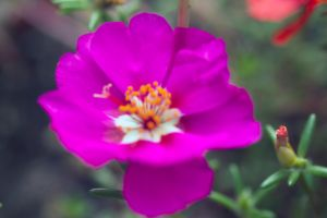 Blue Moss Rose by drewii57