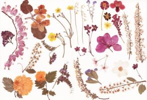 Pressed flowers stock by Rocktuete