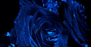 Blue roses by Marianna9