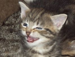 Funny Kitty Face 1 by AsherStock