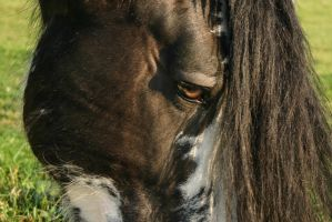 Clydesdale Sabino Gelding Closeup by LuDa-Stock