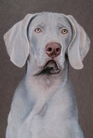 Cliff Weimaraner dog by mo62