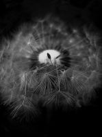 Dandelion in Black and White by erlebnis