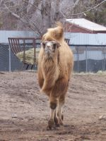 Bactrian Camel, Front by TheFinalLion