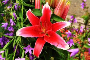 Stock: Stargazer Lily by Celem