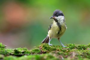 Great tit (Parus major) by Sergey-Ryzhkov