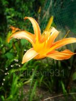 tider lily by lildevil931