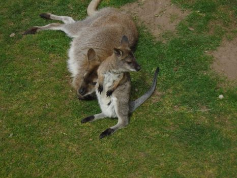 Wallaby 004 by Vande-Bot