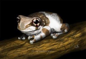 Amazon Milk Frog (Trachycephalus resinifictrix) by NadilynBeato