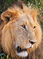 Kruger King by Lightkast