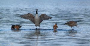 Strech your wings mr. Goose by the13wizard