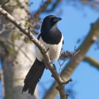 Magpie in sunlight by starykocur