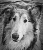 Collie Face by Zoso1024