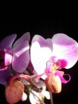 Orchids III by midnite-silver
