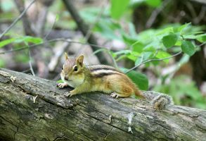 Chipmunk taking a break.. by sweatangel