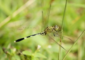 Orthetrum sabina by dianapple