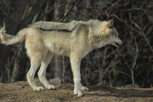 Wolf Stock Ecomuseum 72 by wolf-alchemy