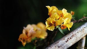 Yellow flower wallpaper by TriinErg