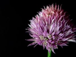 Thistle by sxywoman