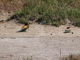 European Bee-Eaters by BlackLeatheredOokami