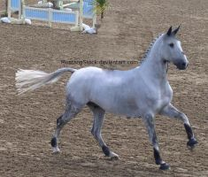 Grey Horse Cantering 3 by MustangStock
